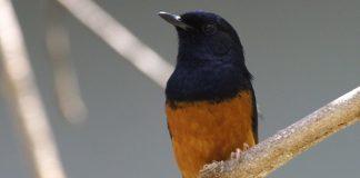 kandang burung murai