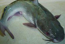 jenis ikan patin