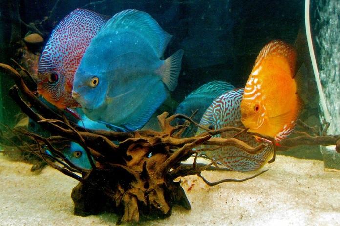industri ikan hias