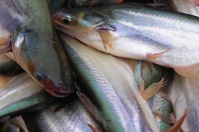 nutrisi daging ikan patin