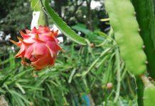 budidaya buah