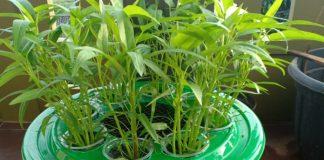 menanam sayuran