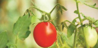 menanam tomat