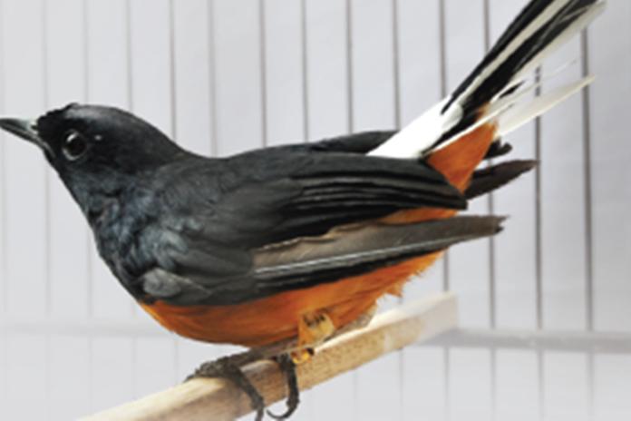 beternak burung murai