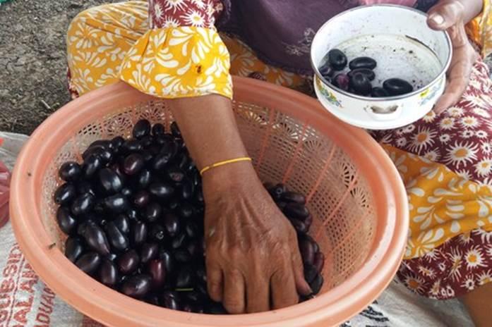 khasiat buah jamblang