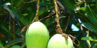 merawat pohon mangga alpukat