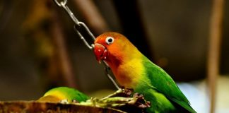 lovebird lokal