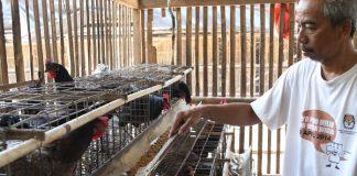 manajemen pakan ayam kampung