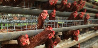 manajemen ternak ayam