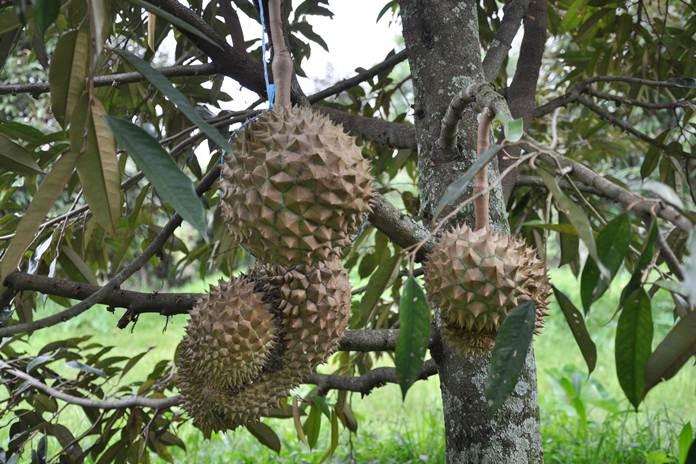 pohon durian berbuah