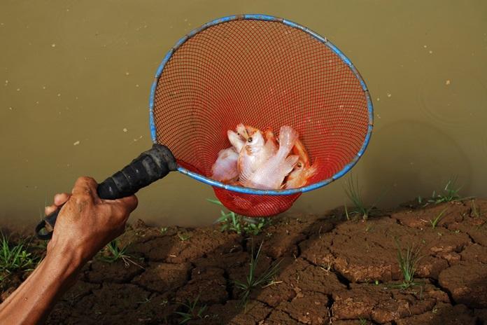 kolam tanah ikan nila