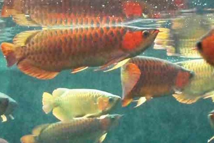 pakan alami ikan arwana