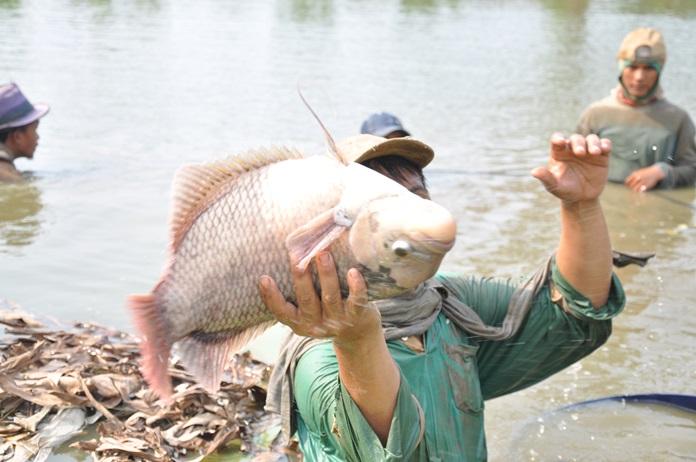 penyebab ikan gurami mati