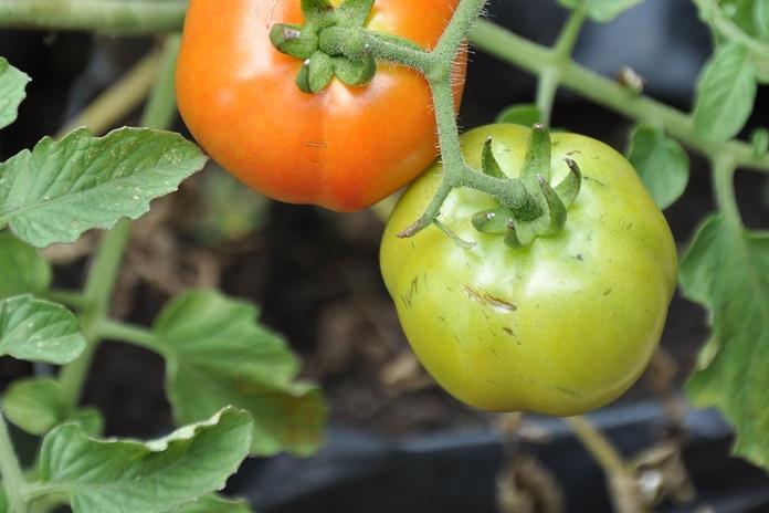 pot pohon tomat