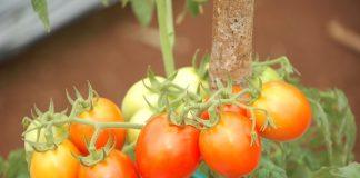 pupuk tanaman tomat