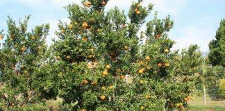 TSP jeruk balitjestro