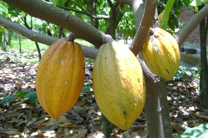busuk buah kakao