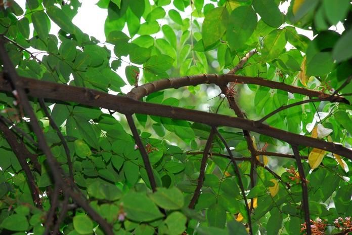 cabang yang dicangkok