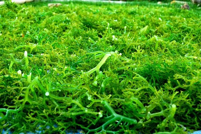 hama rumput laut
