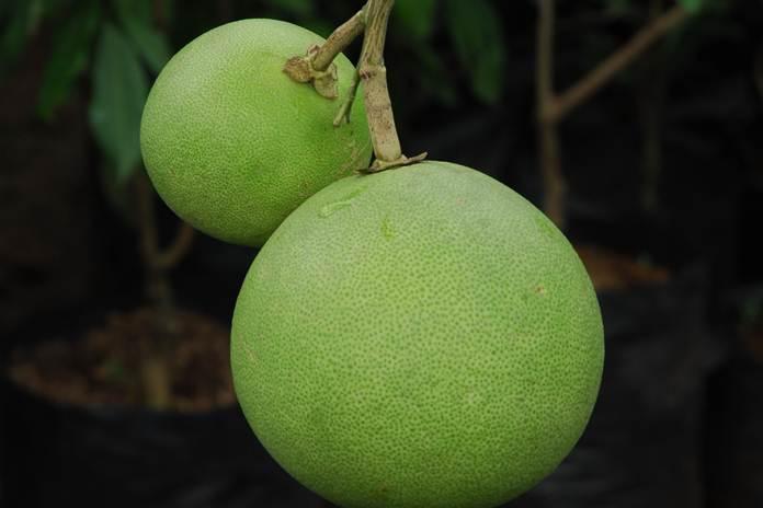khasiat jeruk bali