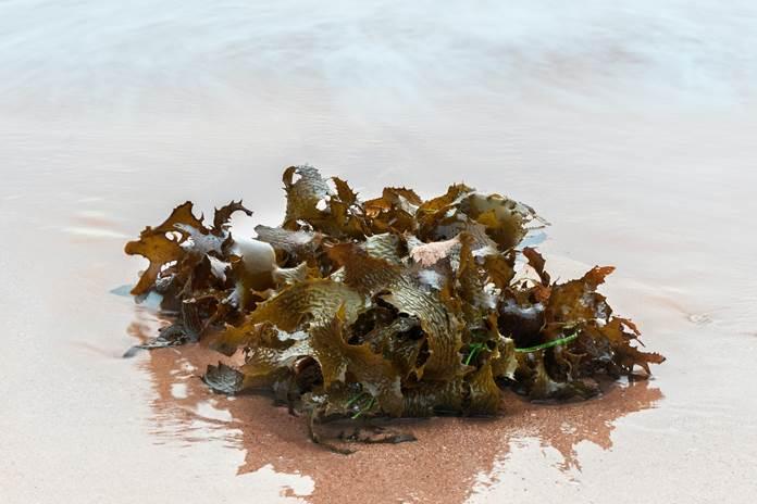 makro alga