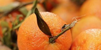 hama tanaman jeruk