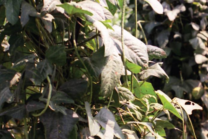 menanam kacang panjang