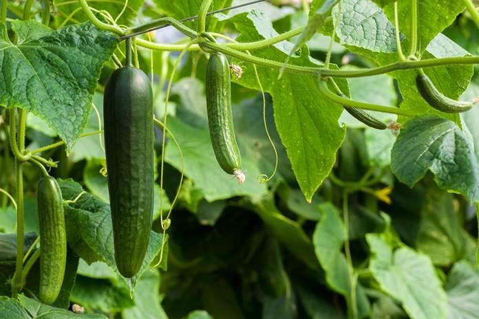 pestisida untuk tanaman mentimun