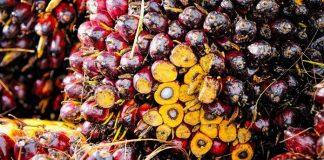 buah kelapa sawit busuk