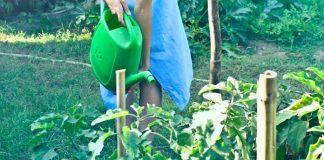 merangsang tanaman buah