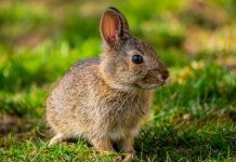 merawat kelinci sakit
