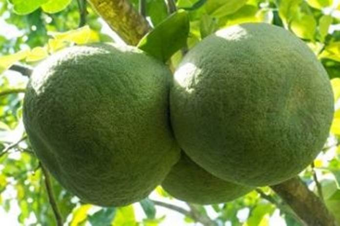 buah jeruk bali