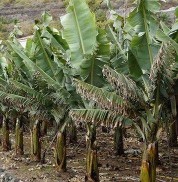 gedebog pisang