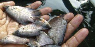 hama ikan gurami