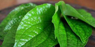 hand sanitizer daun sirih