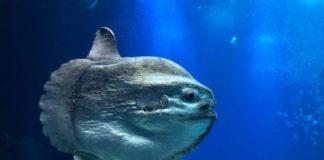 ikan mola-mola