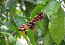 pupuk pohon kopi