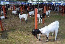 kambing PE kaligesing