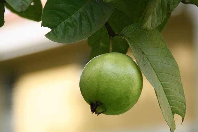 pohon jambu biji