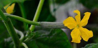 penyakit tanaman mentimun
