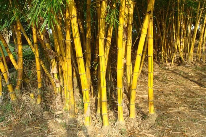 khasiat bambu kuning