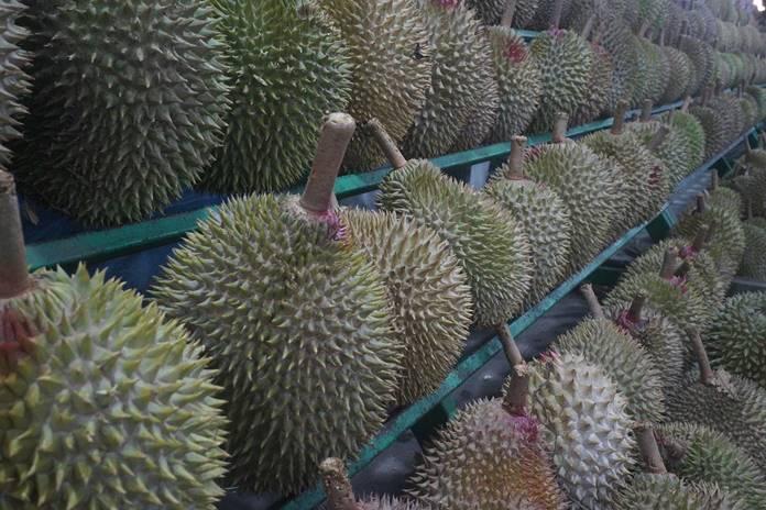 berkebun durian