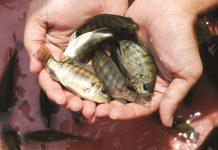 pembesaran ikan