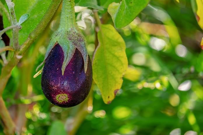 menanam terung