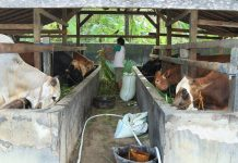lokasi kandang sapi