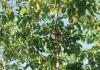 manfaat pohon jabon