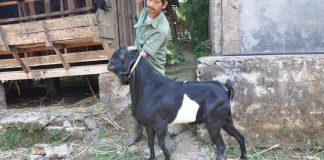 urine kambing