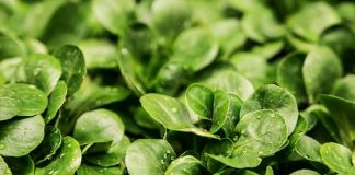 pupuk untuk tanaman sayur