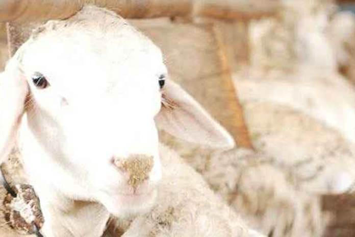 pencernaan domba