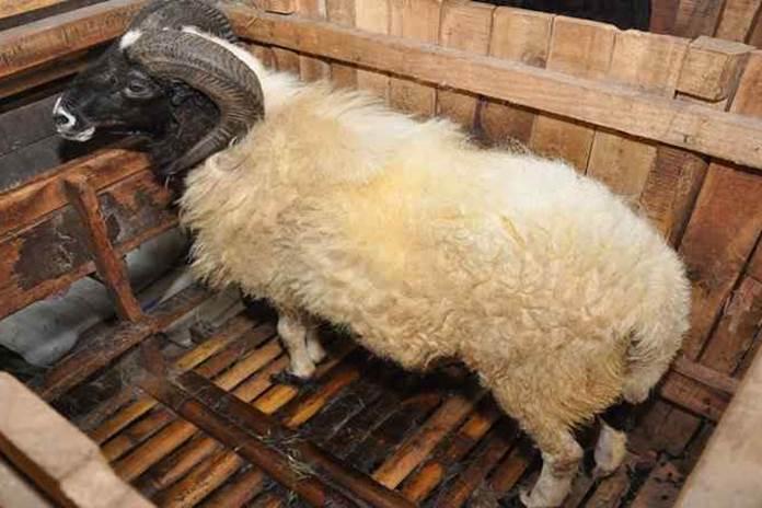 parasit domba